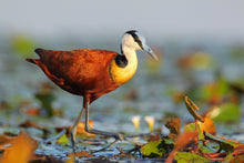 Load image into Gallery viewer, African Jacana