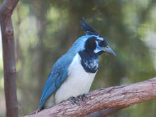 Load image into Gallery viewer, Black-throated Magpie Jay