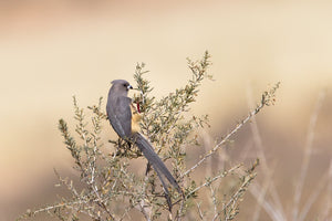 Mousebird (White-backed)
