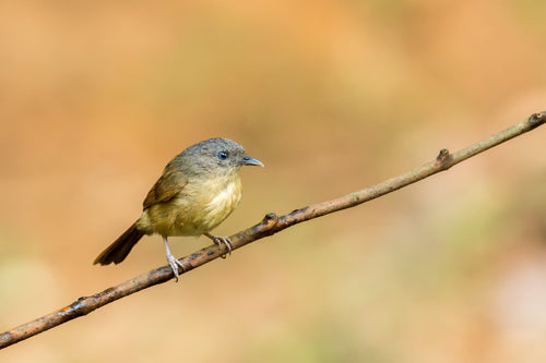 Brown-cheeked Fulvetta aka Brown-cheeked Alcippe