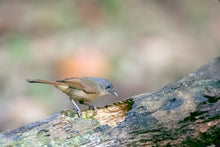 Load image into Gallery viewer, Brown-cheeked Fulvetta aka Brown-cheeked Alcippe