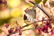 Load image into Gallery viewer, Taiwan Yuhina