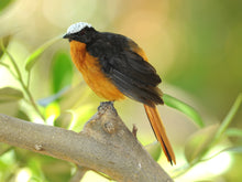 Load image into Gallery viewer, White-crowned Robin-chat