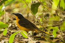 Load image into Gallery viewer, Snowy-crowned Robin-chat