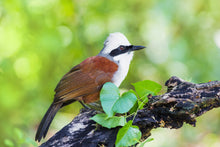 Load image into Gallery viewer, White Crested Laughing Thrush
