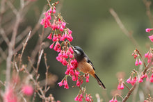 Load image into Gallery viewer, White-eared Sibia
