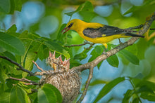 Load image into Gallery viewer, Eurasian Golden Oriole