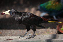 Load image into Gallery viewer, Crested Oropendola