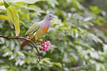 Load image into Gallery viewer, Pink-necked Green Pigeon