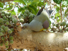 Load image into Gallery viewer, Bruce's Green Pigeon