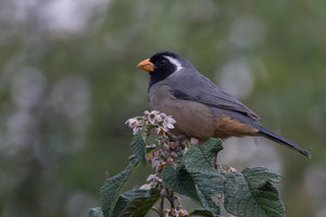 Golden Billed Saltator