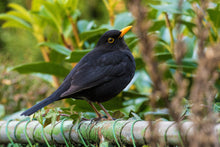 Load image into Gallery viewer, Eurasian Blackbird