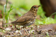 Load image into Gallery viewer, Song Thrush