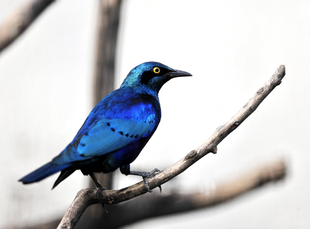 Lesser Blue Eared Glossy Starling