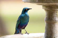 Load image into Gallery viewer, Lesser Blue Eared Glossy Starling