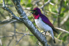 Load image into Gallery viewer, Amethyst Starling