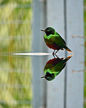 Load image into Gallery viewer, Emerald Starling