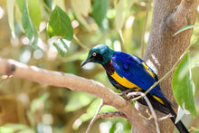Load image into Gallery viewer, Golden-breasted Starling