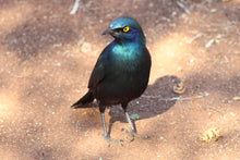 Load image into Gallery viewer, Greater Blue Eared Glossy Starling