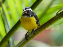 Load image into Gallery viewer, Bananaquit