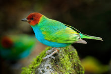 Load image into Gallery viewer, Bay-headed Tanager
