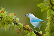 Load image into Gallery viewer, Blue-grey Tanager