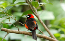 Load image into Gallery viewer, Masked Crimson Tanager