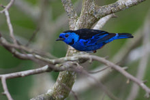 Load image into Gallery viewer, Opal Rumped Tanager