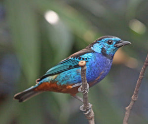 Opal Rumped Tanager