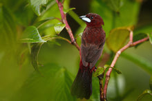 Load image into Gallery viewer, Silver-beaked Tanager