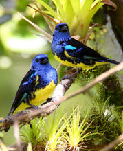 Load image into Gallery viewer, Turquoise Tanager