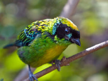 Load image into Gallery viewer, Green-and-Gold Tanager