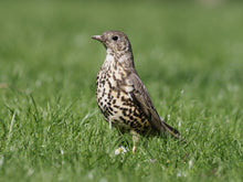 Load image into Gallery viewer, Mistle Thrush