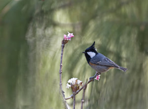 Black-crested Tit