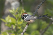 Load image into Gallery viewer, Black-throated Tit