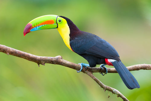 Keel-billed Toucan (Hand fed)
