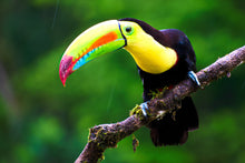 Load image into Gallery viewer, Keel-billed Toucan (Hand fed)