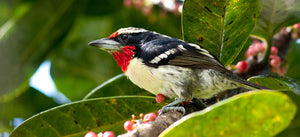 Black Spotted Barbet