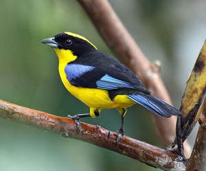 Blue-winged Mountain Tanager(please see description)*