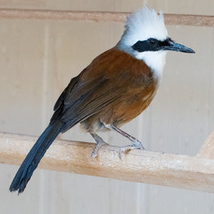 White Crested Laughing Thrush(surgically sexed)