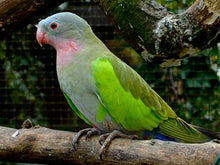 Load image into Gallery viewer, Princess Parrot/Prince of Wales Parakeet