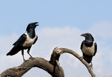 Load image into Gallery viewer, African Pied Crow