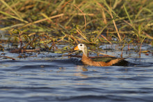 Load image into Gallery viewer, African Pygmy Goose