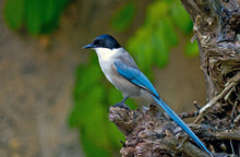 Load image into Gallery viewer, Azure-winged Magpie