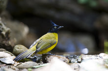 Load image into Gallery viewer, Black-crested Bulbul