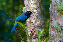 Load image into Gallery viewer, Bushy-crested jay