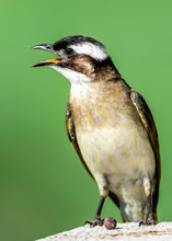 Load image into Gallery viewer, Chinese Bulbul aka Light-vented Bulbul