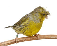 Load image into Gallery viewer, Crested Canaries