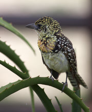 Load image into Gallery viewer, D'Arnaud's Barbet
