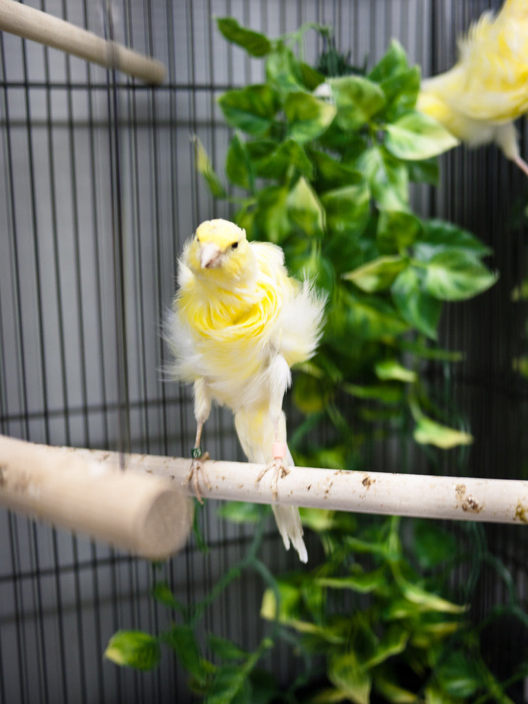 Dutch Frill Canary